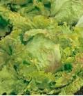 """Salat """"Maravilla de Verano"""", Biologisches Saatgut von Minigarden"""