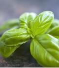 Basilikum, Biologisches Saatgut von Minigarden