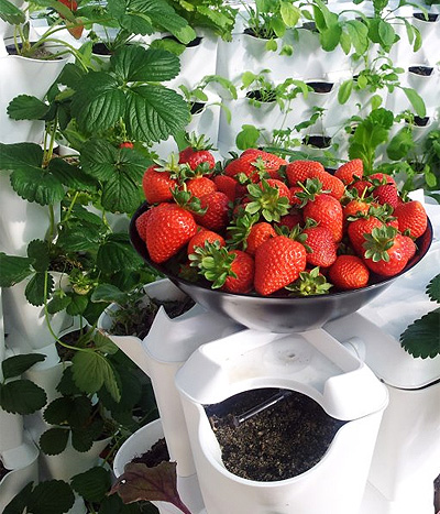 Berühmt Wie kann ich Erdbeeren zu Hause züchten? #NX_96